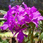 guaria morada costa ricas national flower