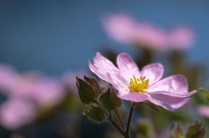 Lilac Cistus