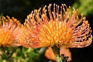 Madiera Flower