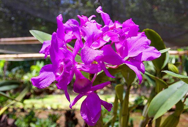 How the Guaria Morada Became Costa Rica's National Flower |Guaria Morada