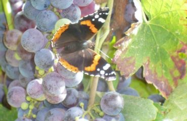 0004ea_italy_venetia_Grapes-and-butterfly-g.jpg