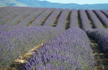 000d5a_france_provence_Lavender-field-near--g.jpg