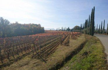 italy/tuscany/0019b5/Montepulciano-vines-g.jpg