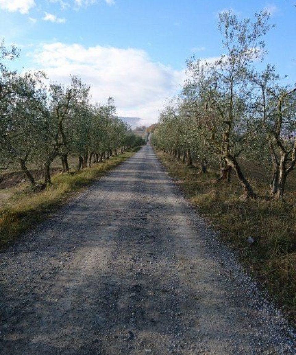 italy/tuscany/0019af/Olive-road-g.jpg