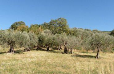 italy/umbria/001765/Olives-tress-in-Umbr-g.jpg
