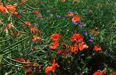 france/burgundy/001744/Wildflowers-g.jpg