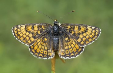 Glanvile-fritillary-butterfly-Isle-of-Wight-England