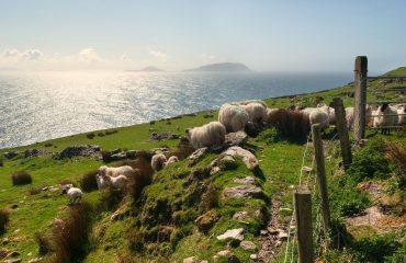 Sheep on grassy fields