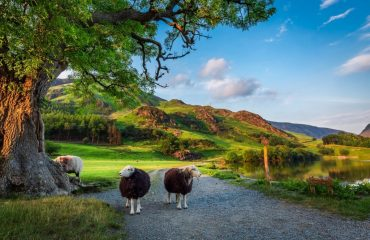 Two-curious-sheep-in-Lake-District-England