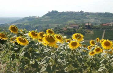 000600_italy_piedmont_sunflowers-with-hill-g.jpg