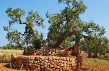 000927_italy_puglia_Olive-tree-g.jpg