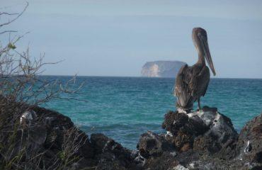 bachas_-_pelican_3.jpg