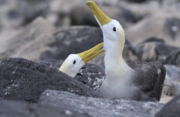 courtshipping-waved-albatross-couple-suarez-point-espaola-galapagos.jpg
