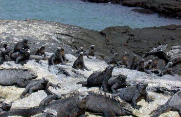 fernandina-iguanas.jpg
