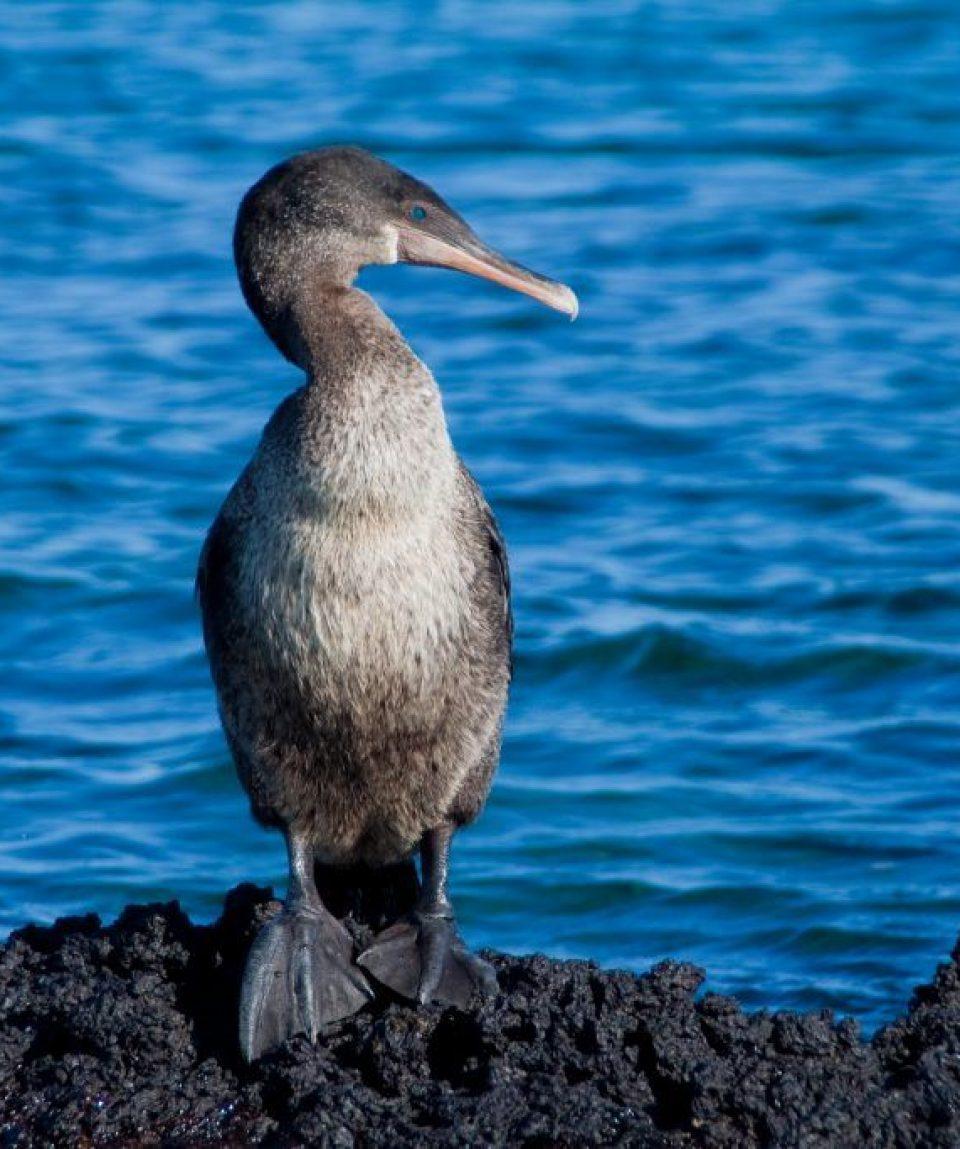 flightless_cormorant.jpg