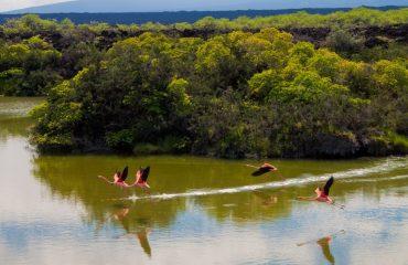 flying-off-american-flamingos-lagoon-moreno-point-galapagos.jpg