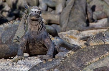 sunbathing_iguana_2.jpg