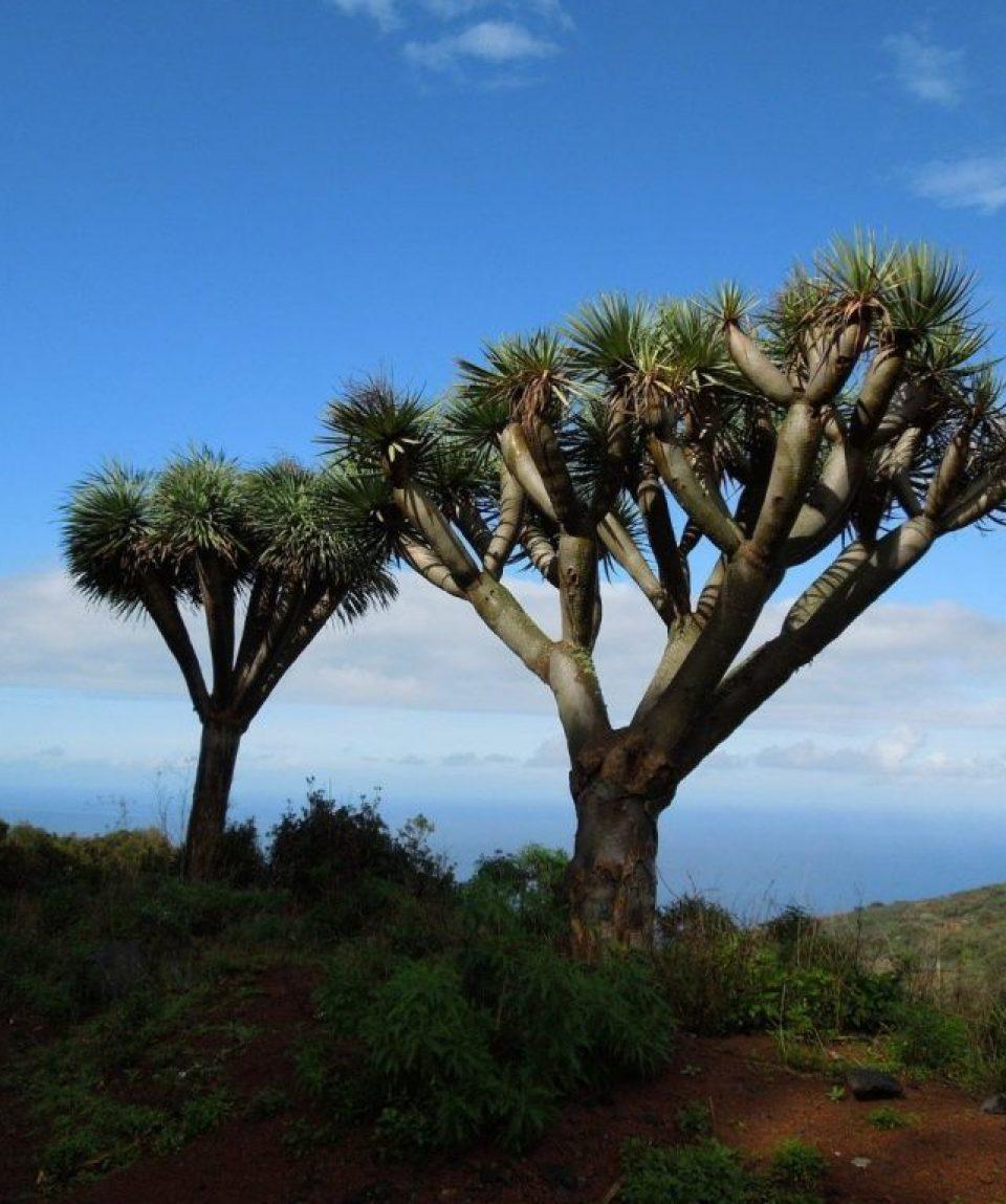 spain/canaries/001ca8/Dragon-Tree-La-Palm-g.jpg