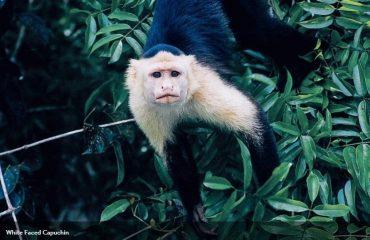 white_faced_capuchin_monkey.jpg