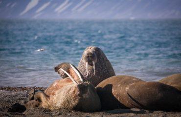 quark_expeditions_spitsbergen_highlights_walrus_ardneset_svalbard_acaciajohnson_3.jpg