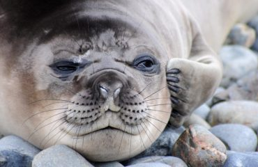 zvr_elephant_seal_pup_scratching_an_itch_at_gold_harbour.jpg