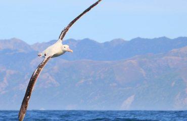 zvr_gibsons_wandering_albatross.jpg