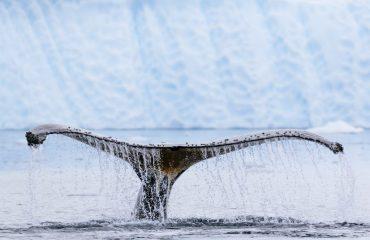 zvr_humpback_whale_fluke_in_paradise_harbor.jpg