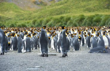 zvr_king_penguins_on_south_georgia_island.jpg