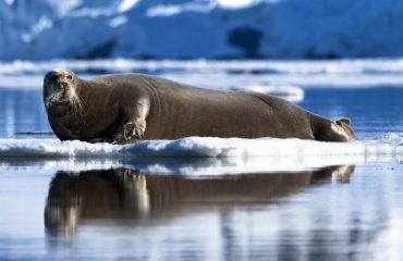 zvz_bearded_seal_on_ice_in_svalbard.jpg