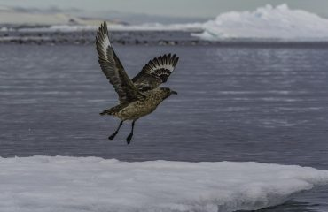 zvz_great_skua_in_svalbard.jpg