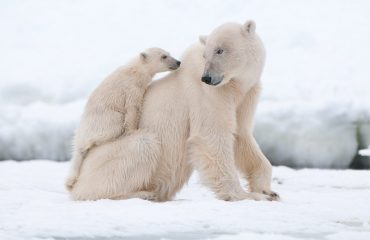 zvz_polar_bear_with_cub_in_svalbard.jpg