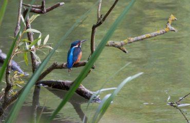britain/any/0022cf/Kingfisher-g.jpg